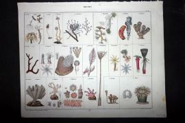 L. Oken 1843 Antique Hand Col Print. Polypen. Seaweed Corals 02